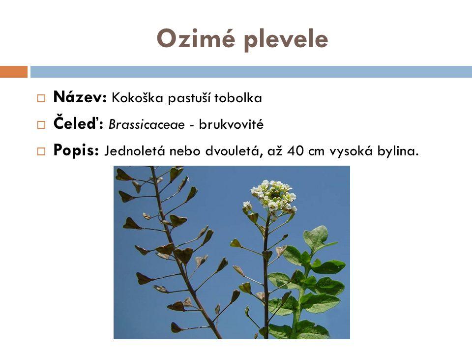 Ozimé plevele  Název: Kokoška pastuší tobolka  Čeleď: Brassicaceae - brukvovité  Popis: Jednoletá nebo dvouletá, až 40 cm vysoká bylina.
