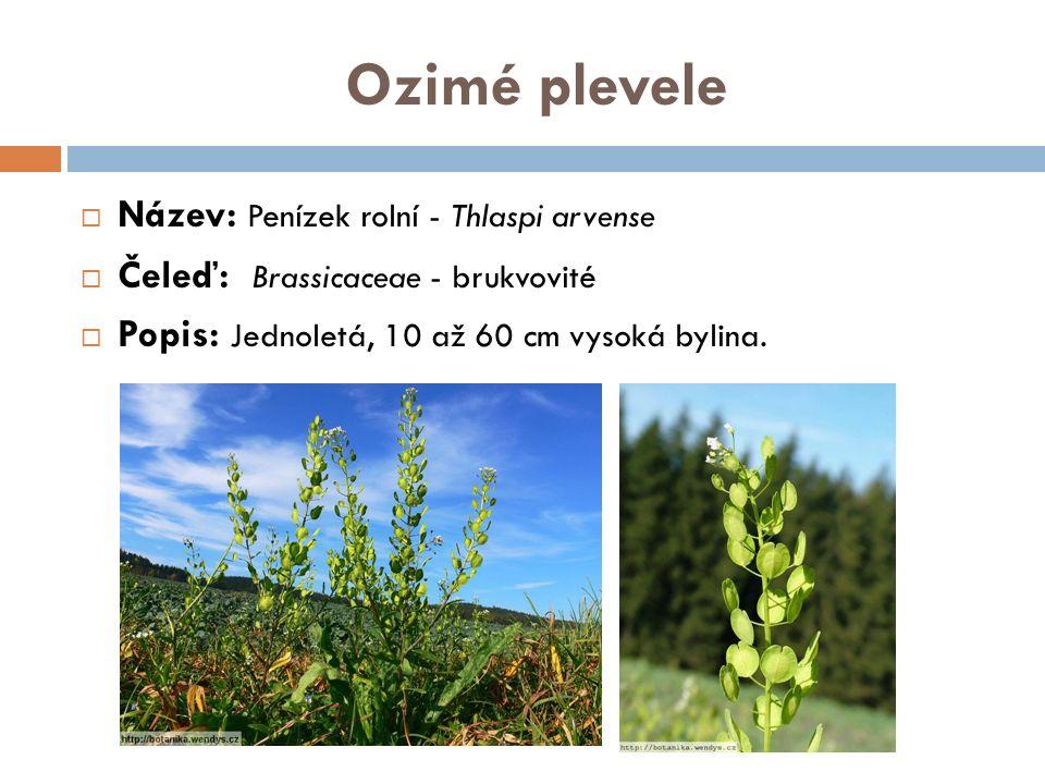Ozimé plevele  Název: Penízek rolní - Thlaspi arvense  Čeleď: Brassicaceae - brukvovité  Popis: Jednoletá, 10 až 60 cm vysoká bylina.
