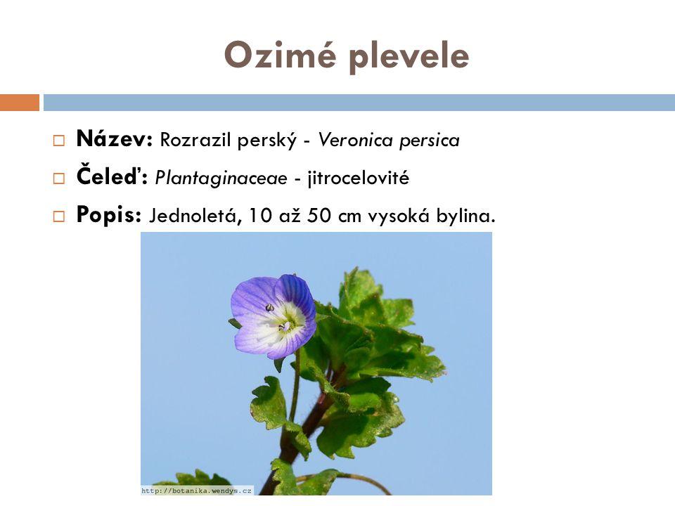 Ozimé plevele  Název: Rozrazil perský - Veronica persica  Čeleď: Plantaginaceae - jitrocelovité  Popis: Jednoletá, 10 až 50 cm vysoká bylina.