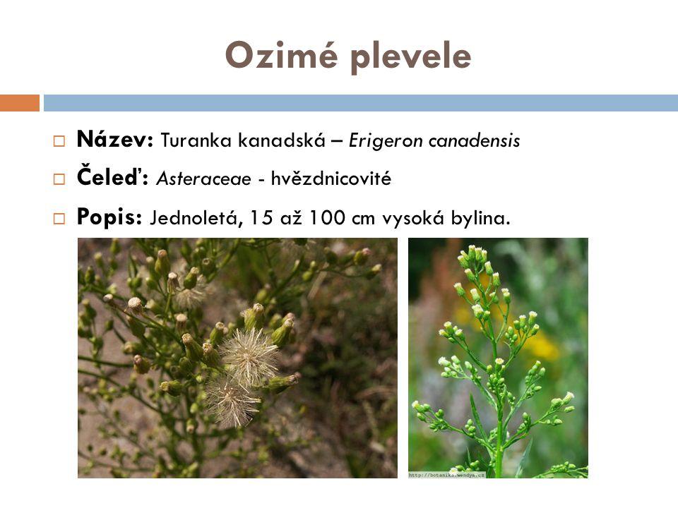 Ozimé plevele  Název: Turanka kanadská – Erigeron canadensis  Čeleď: Asteraceae - hvězdnicovité  Popis: Jednoletá, 15 až 100 cm vysoká bylina.