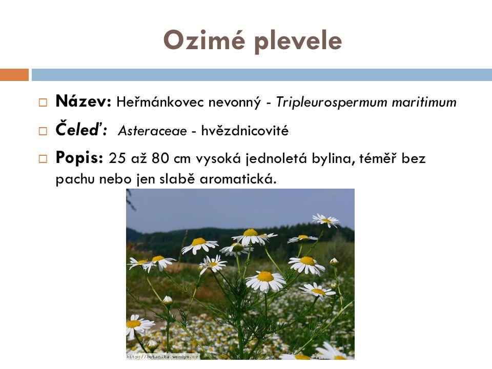 Ozimé plevele  Název: Heřmánkovec nevonný - Tripleurospermum maritimum  Čeleď: Asteraceae - hvězdnicovité  Popis: 25 až 80 cm vysoká jednoletá byli