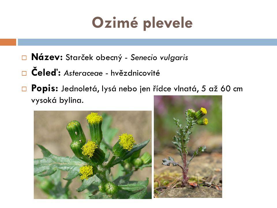 Ozimé plevele  Název: Starček obecný - Senecio vulgaris  Čeleď: Asteraceae - hvězdnicovité  Popis: Jednoletá, lysá nebo jen řídce vlnatá, 5 až 60 cm vysoká bylina.