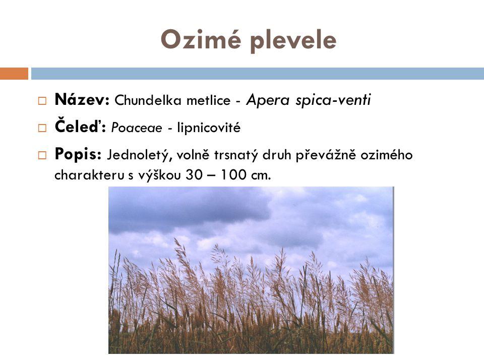 Ozimé plevele  Název: Chundelka metlice - Apera spica-venti  Čeleď: Poaceae - lipnicovité  Popis: Jednoletý, volně trsnatý druh převážně ozimého charakteru s výškou 30 – 100 cm.