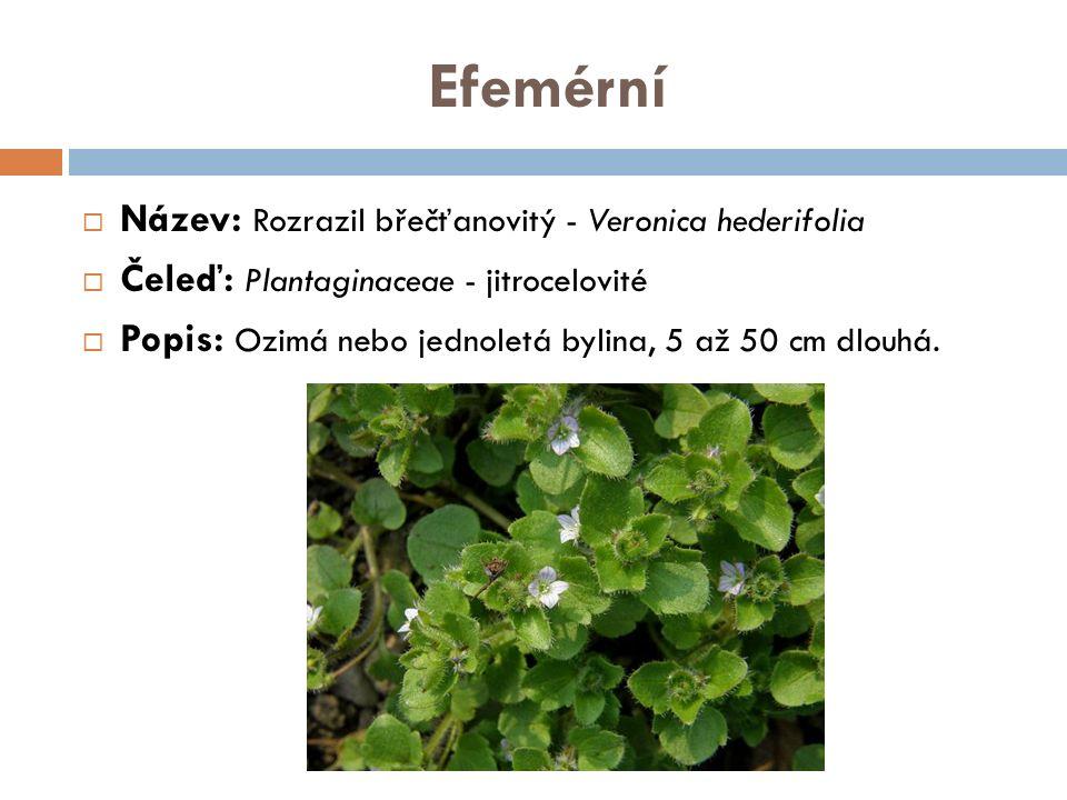 Efemérní  Název: Rozrazil břečťanovitý - Veronica hederifolia  Čeleď: Plantaginaceae - jitrocelovité  Popis: Ozimá nebo jednoletá bylina, 5 až 50 c