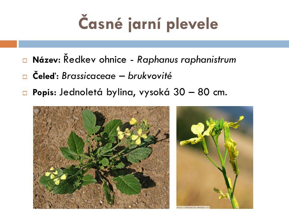 Časné jarní plevele  Název: Hořčice rolní – Sinapis arvenis  Čeleď: Brassicaceae - brukvovité  Popis: Je jednoletá rostlina, 30 - 60 cm vysoká, kvete v květnu až září.