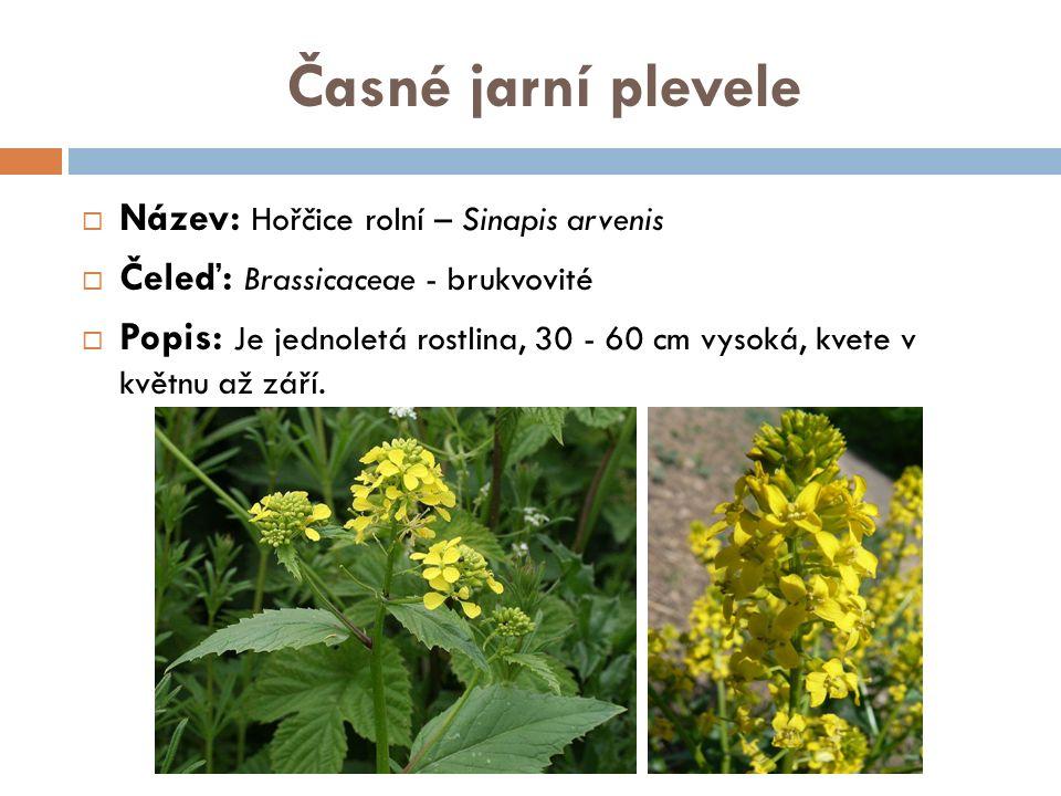 Ozimé plevele  Název: Heřmánkovec nevonný - Tripleurospermum maritimum  Čeleď: Asteraceae - hvězdnicovité  Popis: 25 až 80 cm vysoká jednoletá bylina, téměř bez pachu nebo jen slabě aromatická.