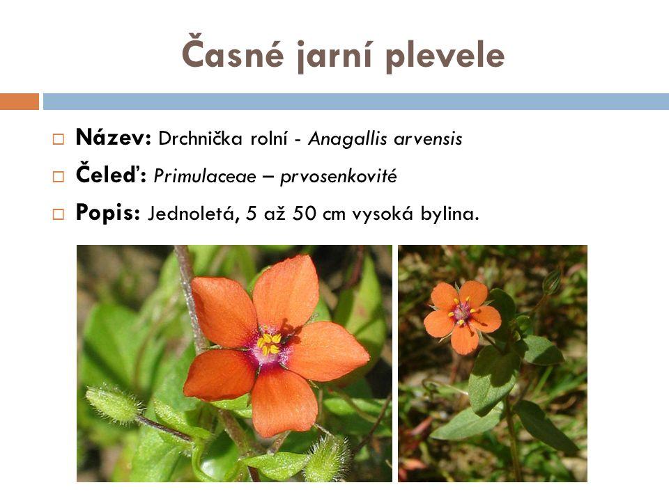 Časné jarní plevele  Název: Drchnička rolní - Anagallis arvensis  Čeleď: Primulaceae – prvosenkovité  Popis: Jednoletá, 5 až 50 cm vysoká bylina.