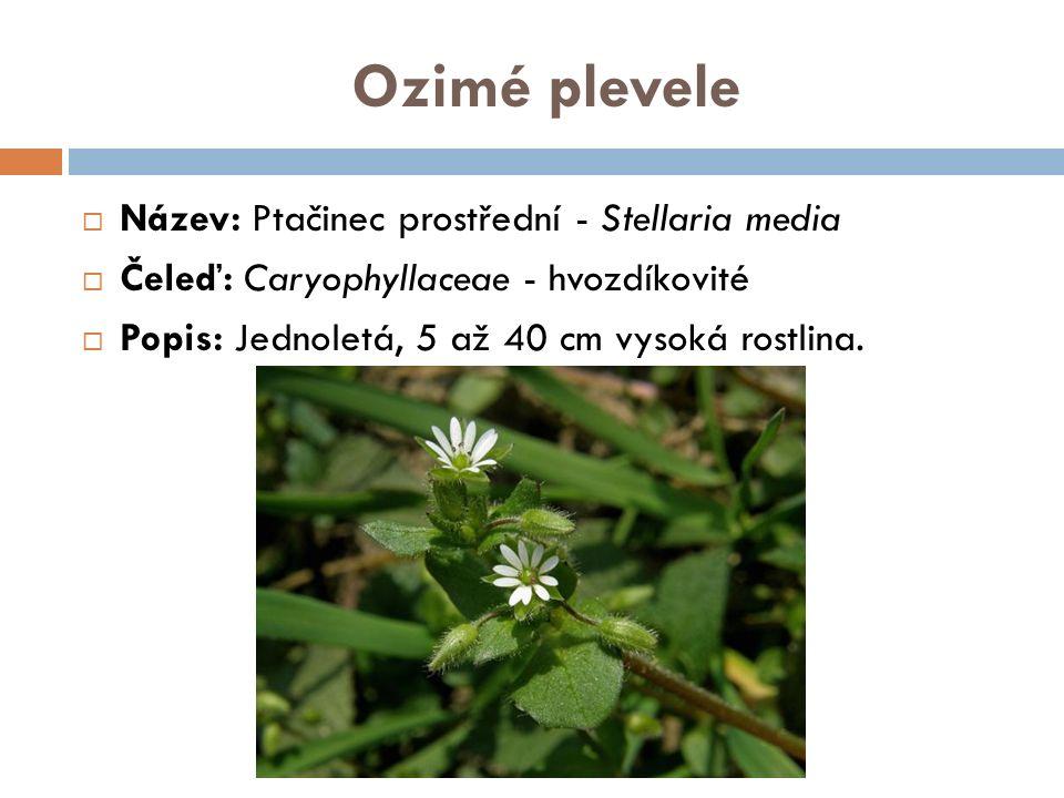 Ozimé plevele  Název: Ptačinec prostřední - Stellaria media  Čeleď: Caryophyllaceae - hvozdíkovité  Popis: Jednoletá, 5 až 40 cm vysoká rostlina.
