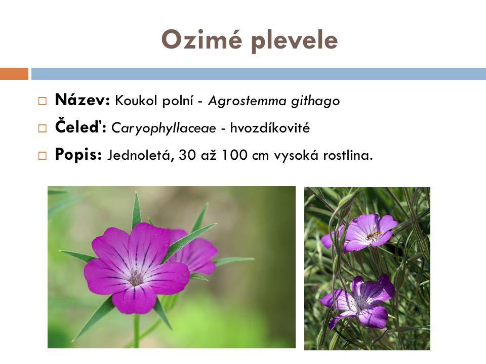 Ozimé plevele  Název: Koukol polní - Agrostemma githago  Čeleď: Caryophyllaceae - hvozdíkovité  Popis: Jednoletá, 30 až 100 cm vysoká rostlina.