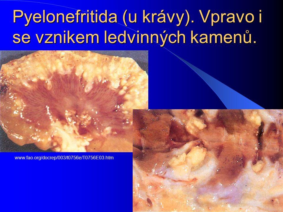 Pyelonefritida (u krávy). Vpravo i se vznikem ledvinných kamenů.