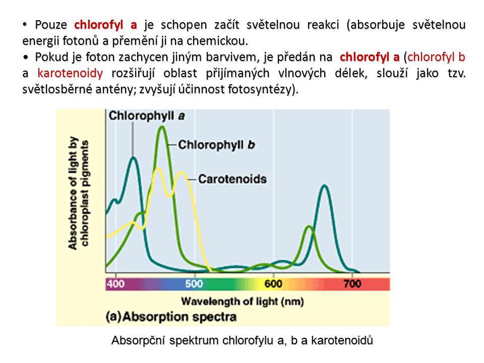 Absorpční spektrum chlorofylu a, b a karotenoidů Pouze chlorofyl a je schopen začít světelnou reakci (absorbuje světelnou energii fotonů a přemění ji na chemickou.