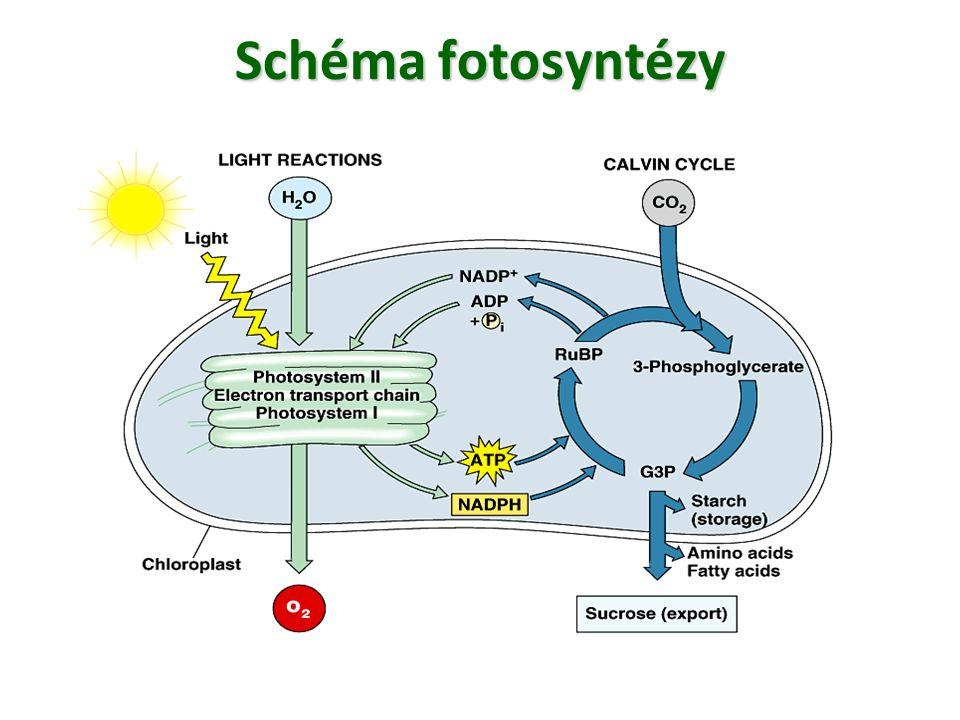Schéma fotosyntézy