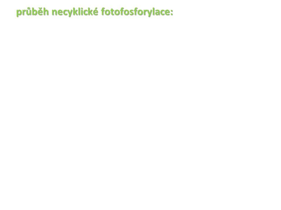 průběh necyklické fotofosforylace: