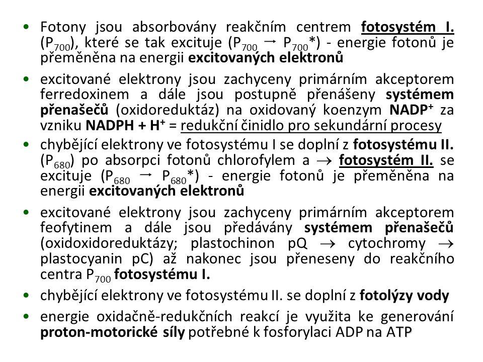 Fotony jsou absorbovány reakčním centrem fotosystém I. (P 700 ), které se tak excituje (P 700  P 700 *) - energie fotonů je přeměněna na energii exci