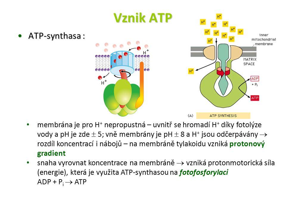 Vznik ATP ATP-synthasa :ATP-synthasa : membrána je pro H + nepropustná – uvnitř se hromadí H + díky fotolýze vody a pH je zde  5; vně membrány je pH  8 a H + jsou odčerpávány  rozdíl koncentrací i nábojů – na membráně tylakoidu vzniká protonový gradient snaha vyrovnat koncentrace na membráně  vzniká protonmotorická síla (energie), která je využita ATP-synthasou na fotofosforylaci ADP + P i  ATP