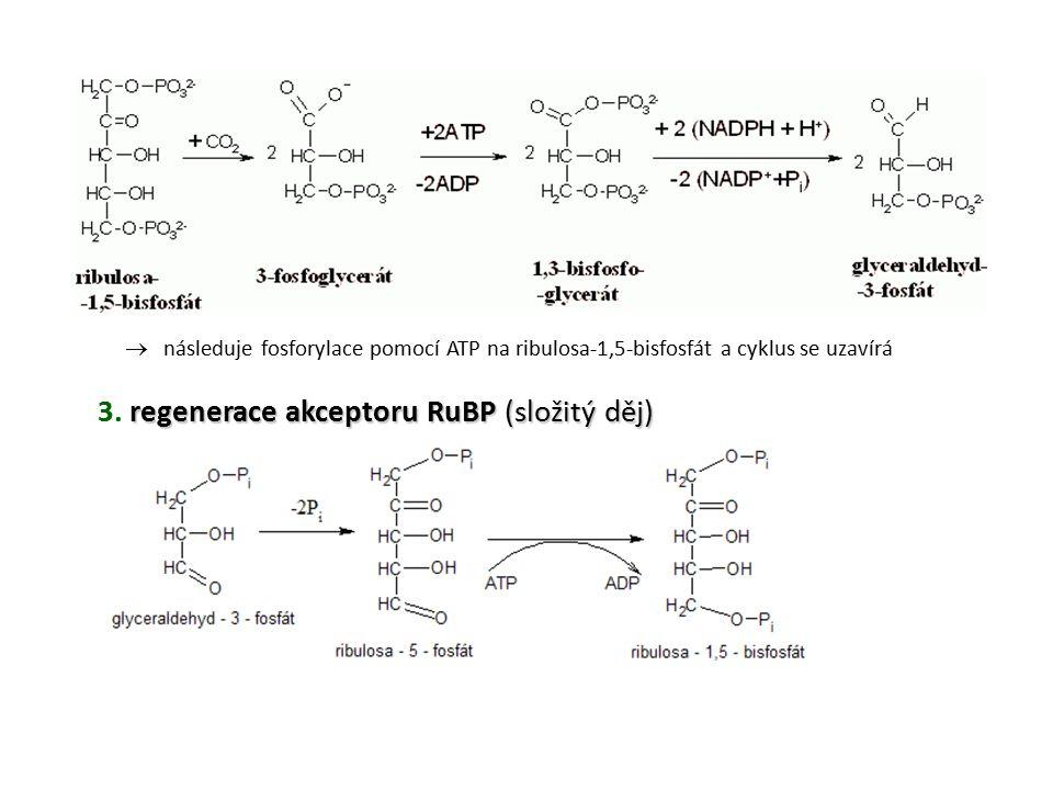 regenerace akceptoru RuBP (složitý děj) 3. regenerace akceptoru RuBP (složitý děj)  následuje fosforylace pomocí ATP na ribulosa-1,5-bisfosfát a cykl