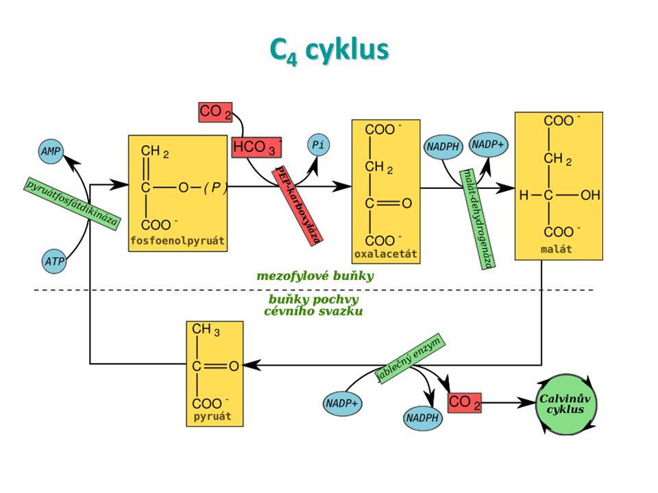 C 4 cyklus