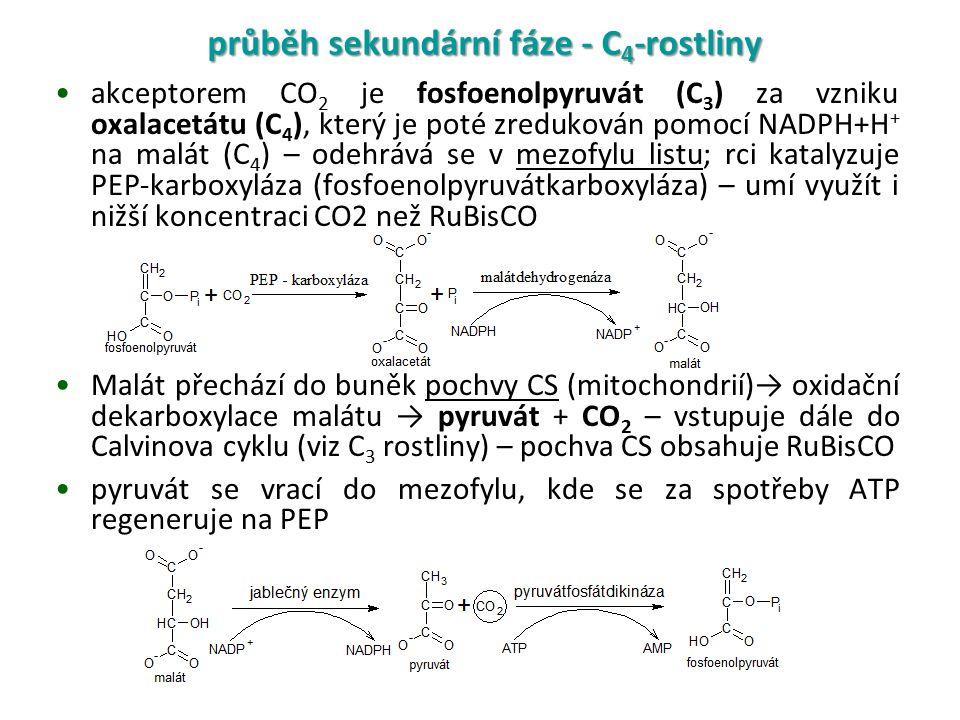 akceptorem CO 2 je fosfoenolpyruvát (C 3 ) za vzniku oxalacetátu (C 4 ), který je poté zredukován pomocí NADPH+H + na malát (C 4 ) – odehrává se v mezofylu listu; rci katalyzuje PEP-karboxyláza (fosfoenolpyruvátkarboxyláza) – umí využít i nižší koncentraci CO2 než RuBisCO Malát přechází do buněk pochvy CS (mitochondrií)→ oxidační dekarboxylace malátu → pyruvát + CO 2 – vstupuje dále do Calvinova cyklu (viz C 3 rostliny) – pochva CS obsahuje RuBisCO pyruvát se vrací do mezofylu, kde se za spotřeby ATP regeneruje na PEP průběh sekundární fáze - C 4 -rostliny