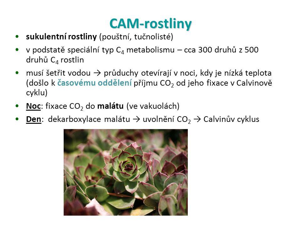 CAM-rostliny sukulentní rostliny (pouštní, tučnolisté) v podstatě speciální typ C 4 metabolismu – cca 300 druhů z 500 druhů C 4 rostlin musí šetřit vodou → průduchy otevírají v noci, kdy je nízká teplota (došlo k časovému oddělení příjmu CO 2 od jeho fixace v Calvinově cyklu) Noc: fixace CO 2 do malátu (ve vakuolách) Den: dekarboxylace malátu → uvolnění CO 2 → Calvinův cyklus