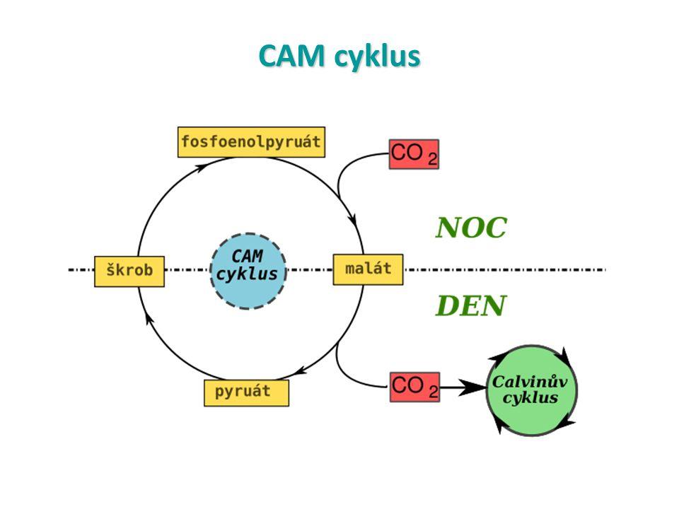 CAM cyklus