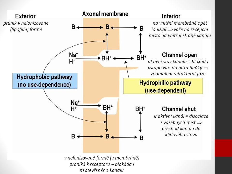 průnik v neionizované (lipofilní) formě na vnitřní membráně opět ionizují  váže na recepční místo na vnitřní straně kanálu aktivní stav kanálu = blokáda vstupu Na + do nitra buňky  zpomalení refrakterní fáze inaktivní kanál = disociace z vazebných míst  přechod kanálu do klidového stavu v neionizované formě (v membráně) proniká k receptoru – blokáda i neotevřeného kanálu