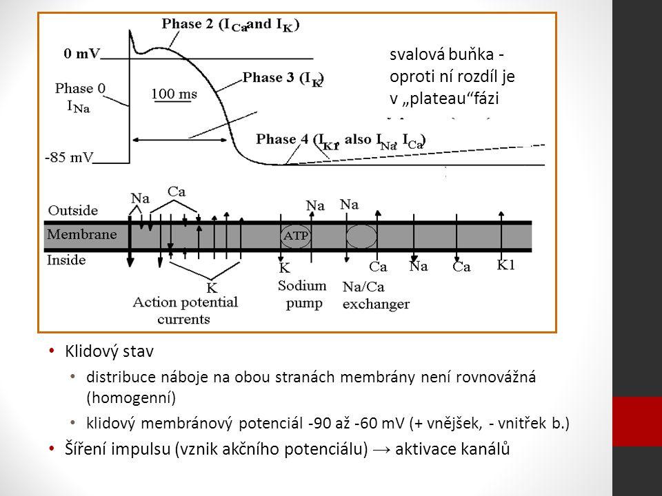 """svalová buňka - oproti ní rozdíl je v """"plateau fázi Klidový stav distribuce náboje na obou stranách membrány není rovnovážná (homogenní) klidový membránový potenciál -90 až -60 mV (+ vnějšek, - vnitřek b.) Šíření impulsu (vznik akčního potenciálu) → aktivace kanálů"""