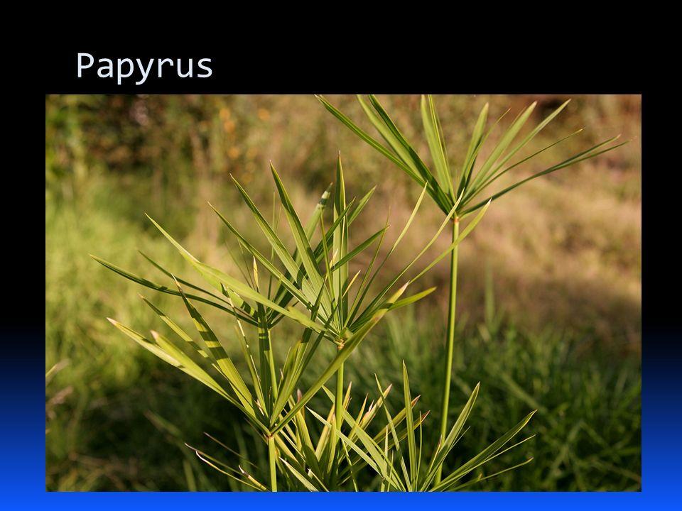 Rostlina papyrus nařezaná na tenké plátky