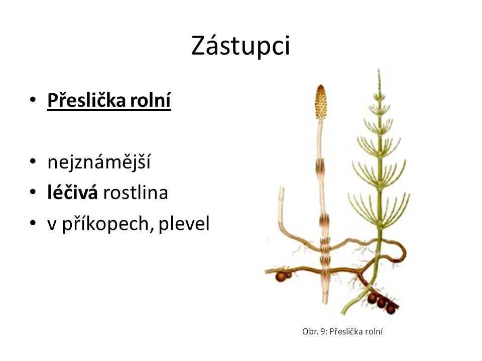 Zástupci Přeslička rolní nejznámější léčivá rostlina v příkopech, plevel Obr. 9: Přeslička rolní