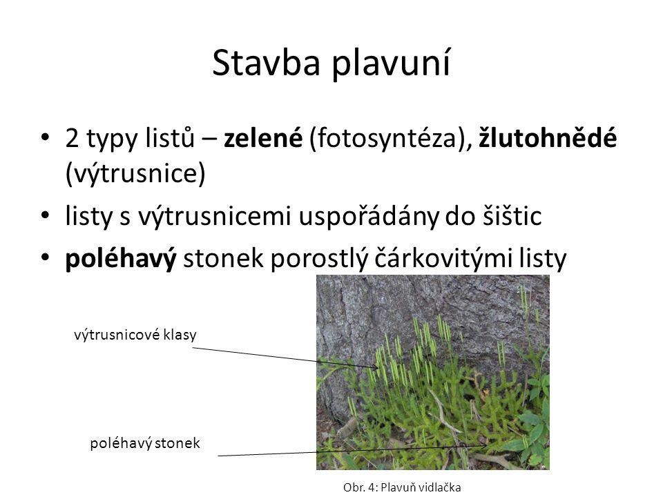 Stavba plavuní 2 typy listů – zelené (fotosyntéza), žlutohnědé (výtrusnice) listy s výtrusnicemi uspořádány do šištic poléhavý stonek porostlý čárkovitými listy Obr.