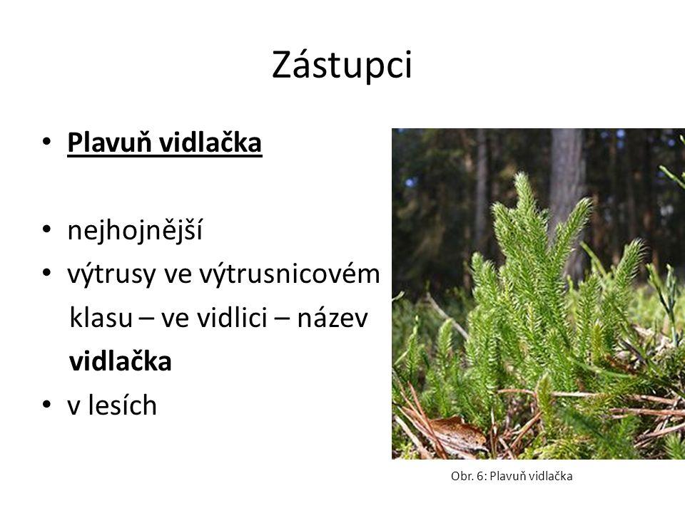 Zástupci Plavuň vidlačka nejhojnější výtrusy ve výtrusnicovém klasu – ve vidlici – název vidlačka v lesích Obr.