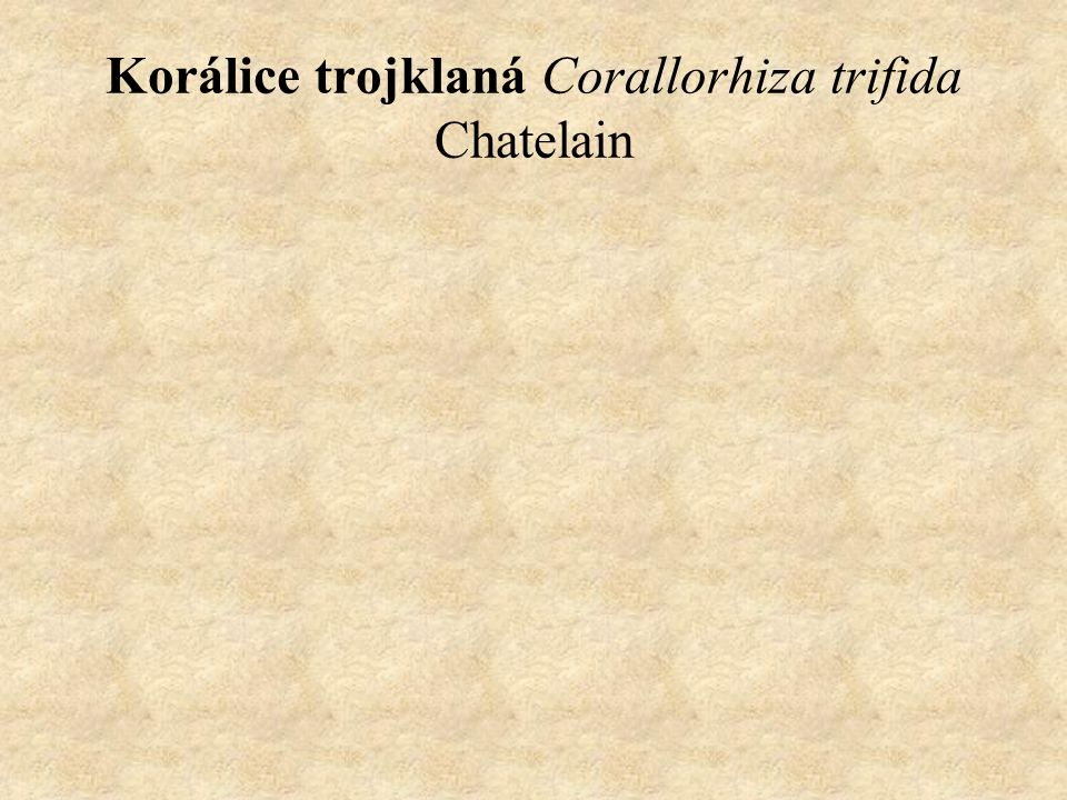 Korálice trojklaná Corallorhiza trifida Chatelain