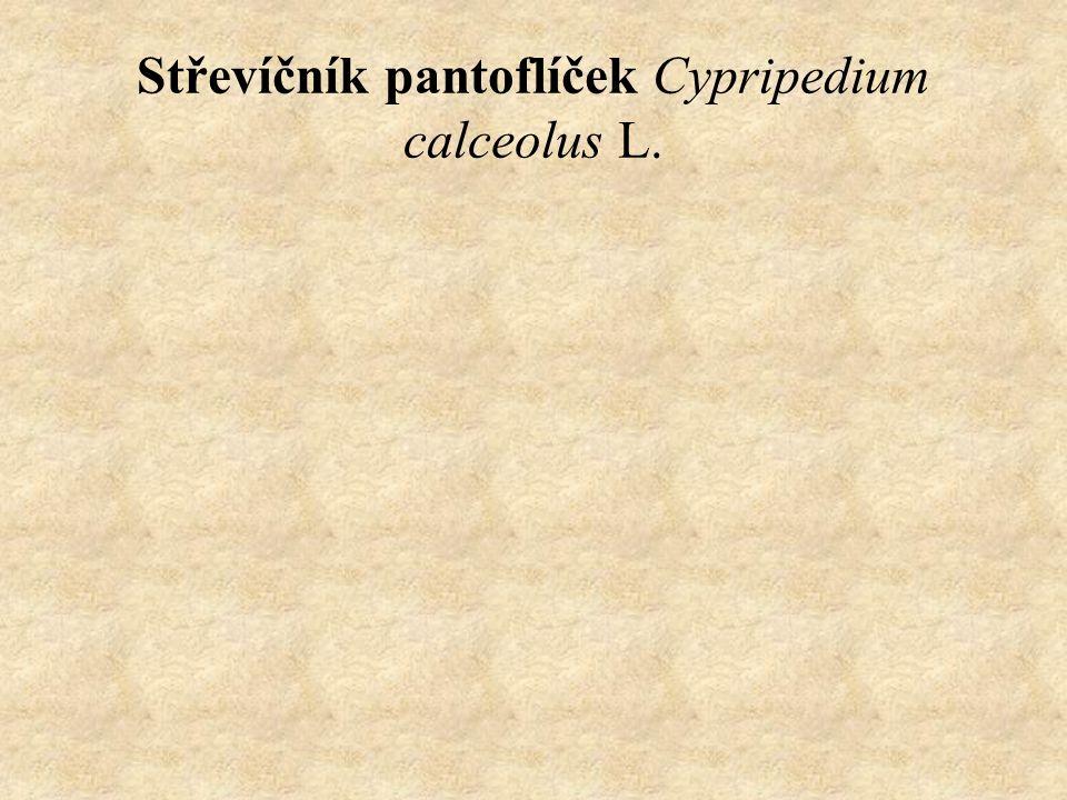 Střevíčník pantoflíček Cypripedium calceolus L.