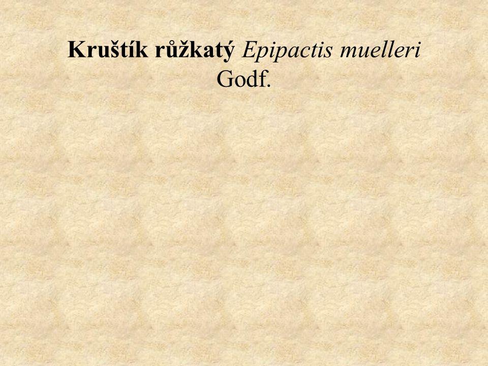 Kruštík růžkatý Epipactis muelleri Godf.