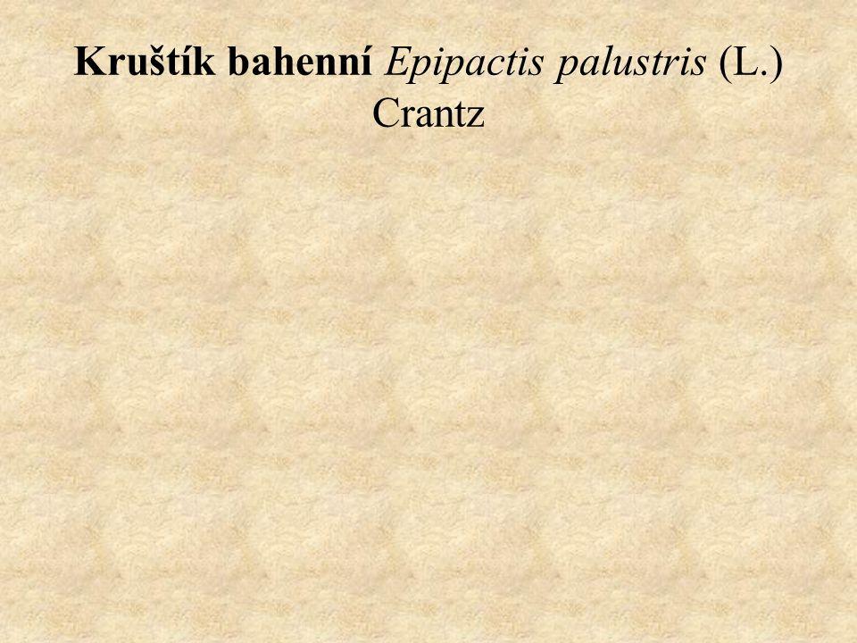 Kruštík bahenní Epipactis palustris (L.) Crantz