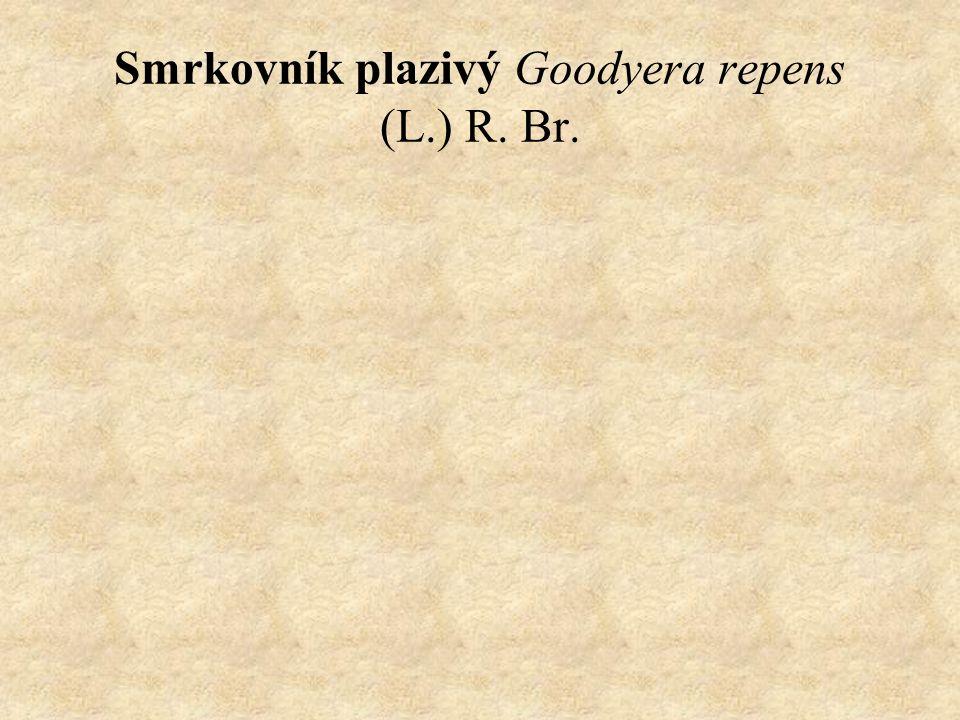 Smrkovník plazivý Goodyera repens (L.) R. Br.