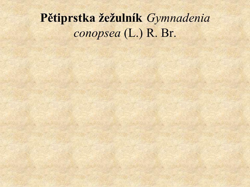 Pětiprstka žežulník Gymnadenia conopsea (L.) R. Br.