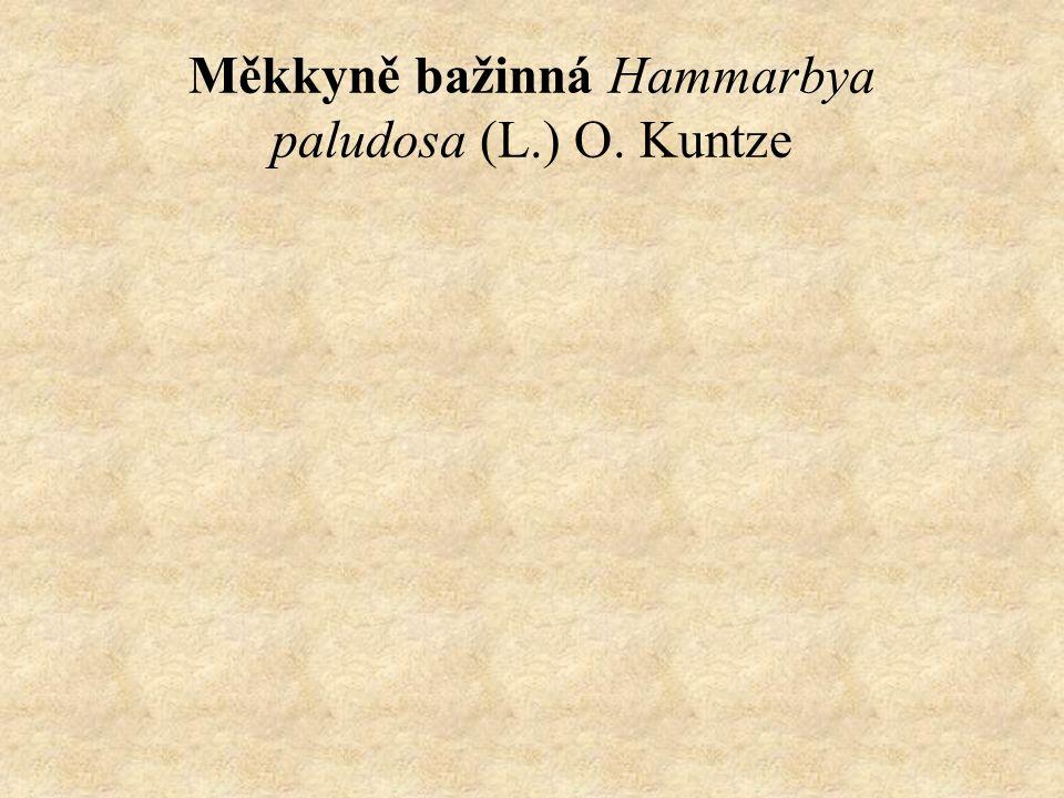 Měkkyně bažinná Hammarbya paludosa (L.) O. Kuntze
