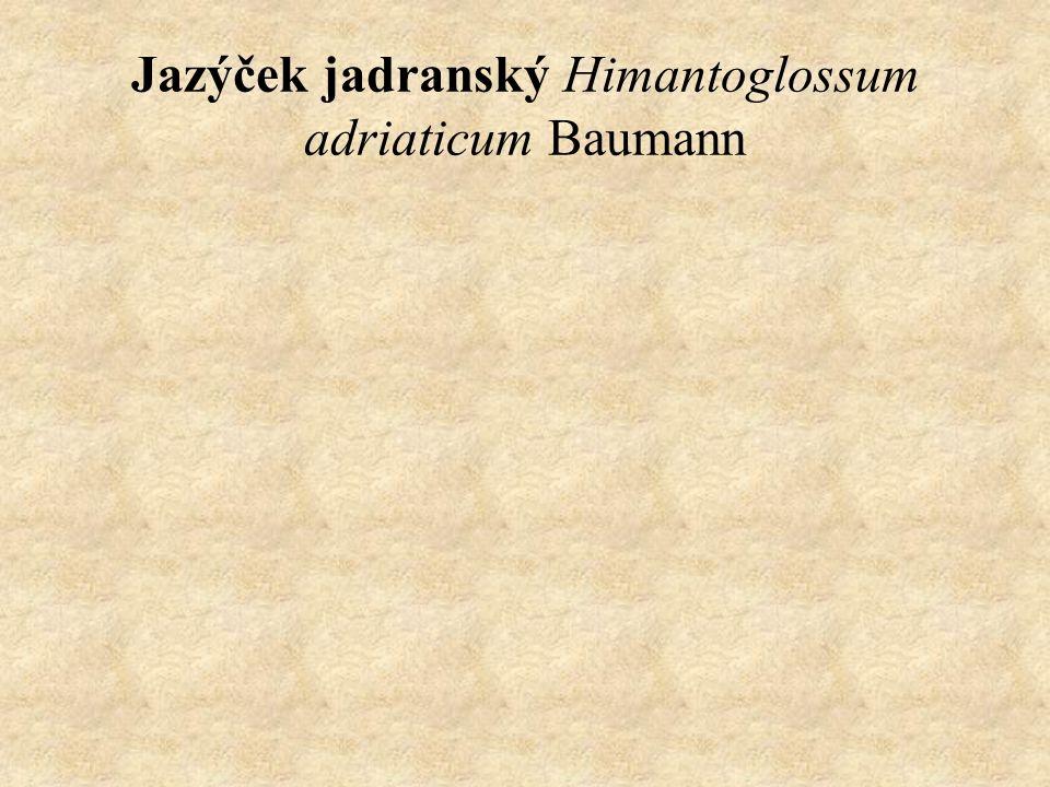 Jazýček jadranský Himantoglossum adriaticum Baumann