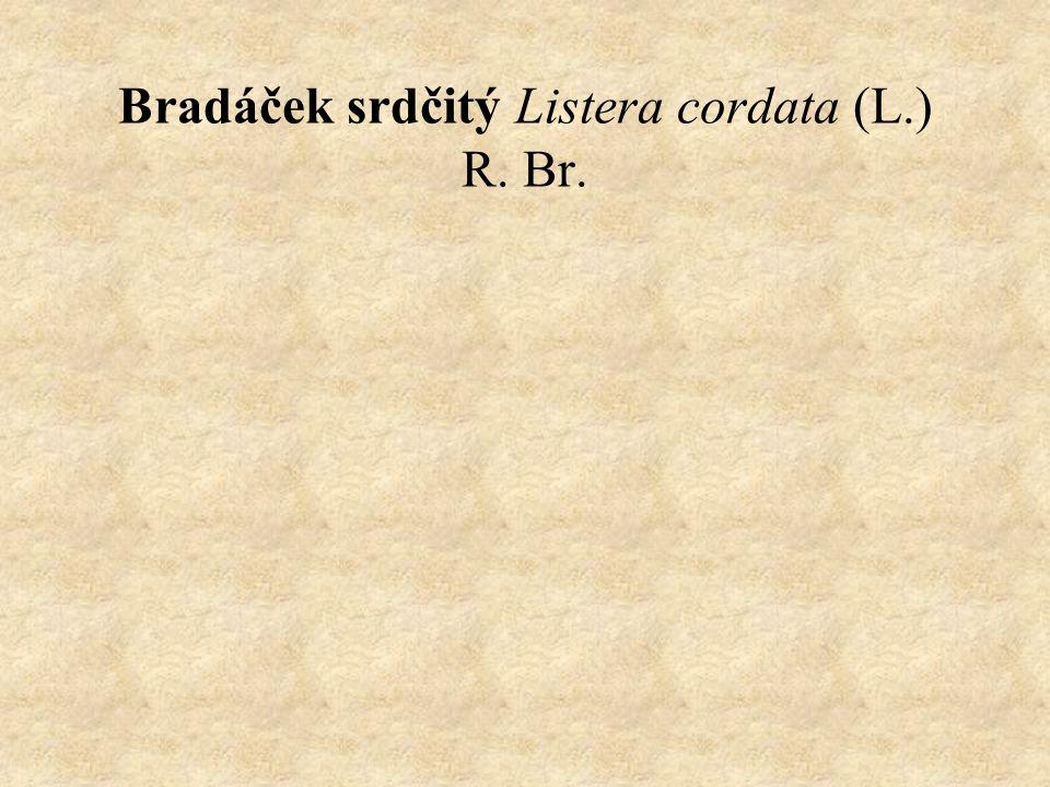 Bradáček srdčitý Listera cordata (L.) R. Br.