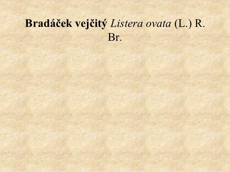 Bradáček vejčitý Listera ovata (L.) R. Br.