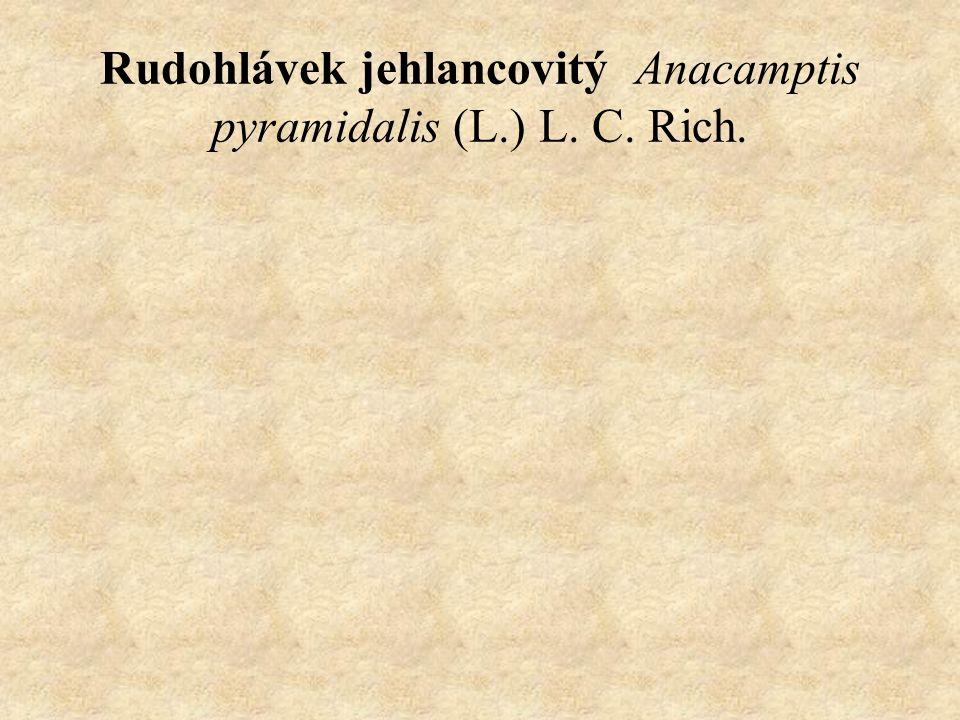 Rudohlávek jehlancovitý Anacamptis pyramidalis (L.) L. C. Rich.