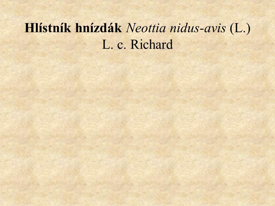 Hlístník hnízdák Neottia nidus-avis (L.) L. c. Richard