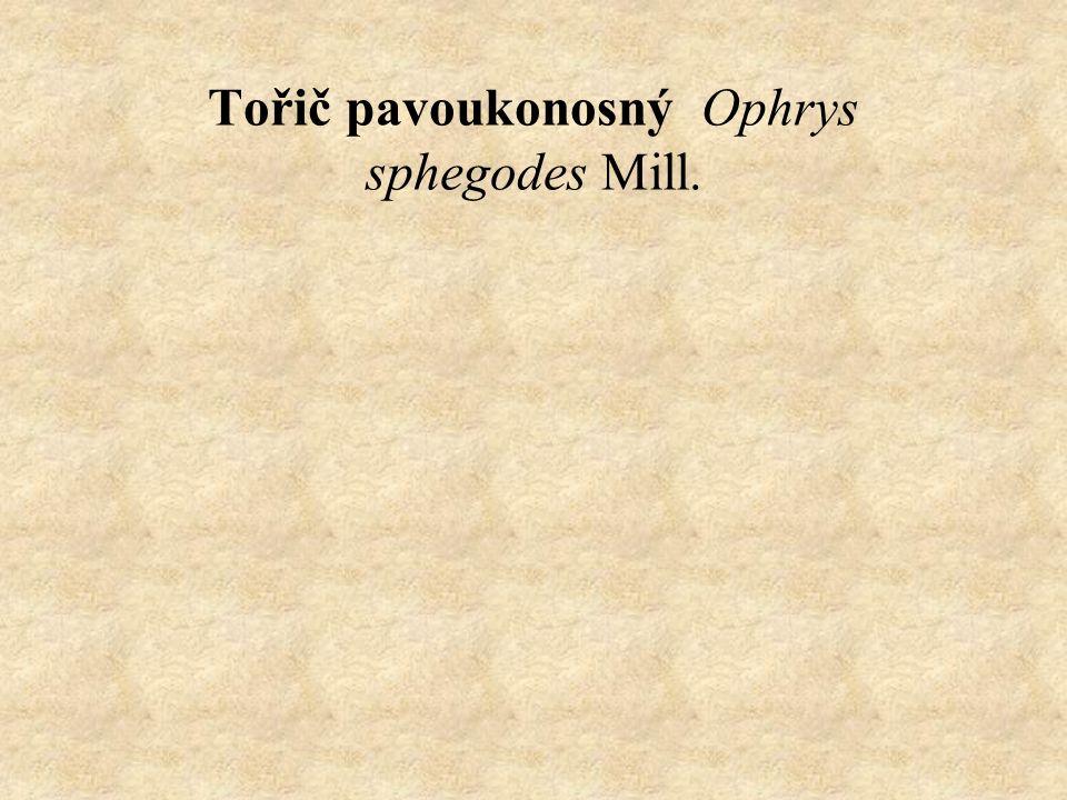 Tořič pavoukonosný Ophrys sphegodes Mill.