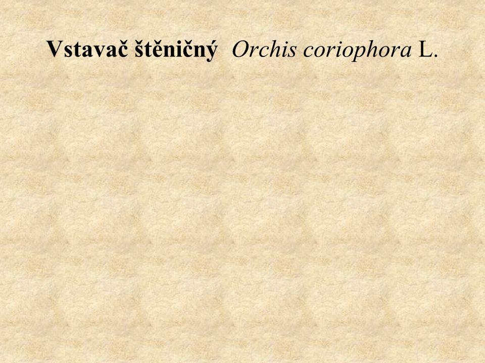 Vstavač štěničný Orchis coriophora L.
