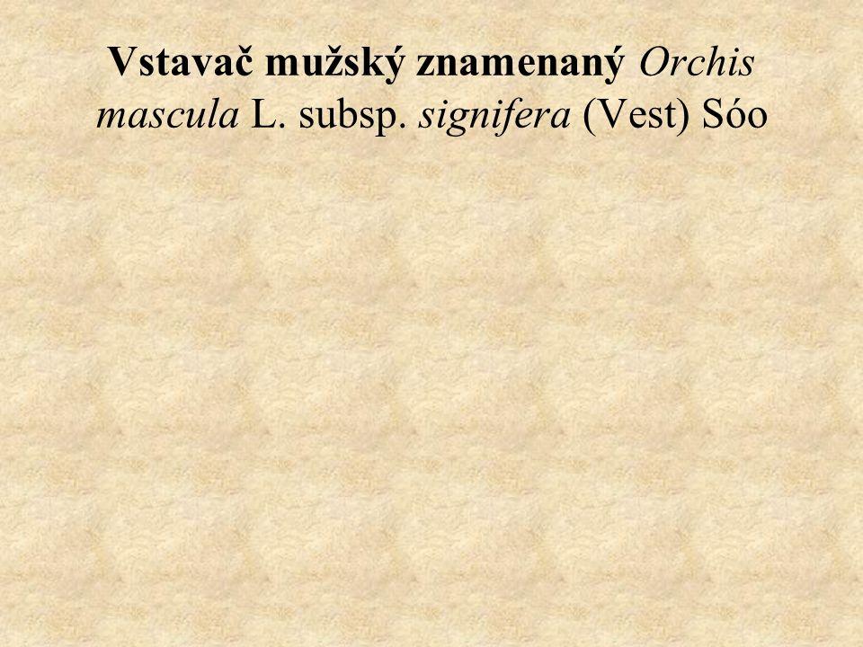 Vstavač mužský znamenaný Orchis mascula L. subsp. signifera (Vest) Sóo