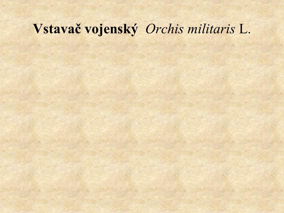 Vstavač vojenský Orchis militaris L.