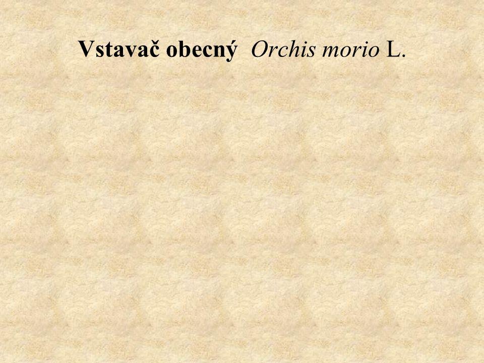 Vstavač obecný Orchis morio L.