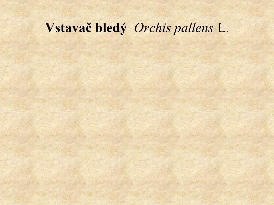 Vstavač bledý Orchis pallens L.