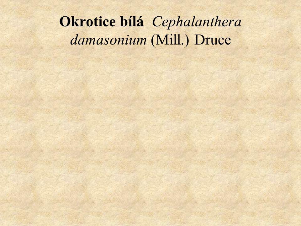 Okrotice bílá Cephalanthera damasonium (Mill.) Druce