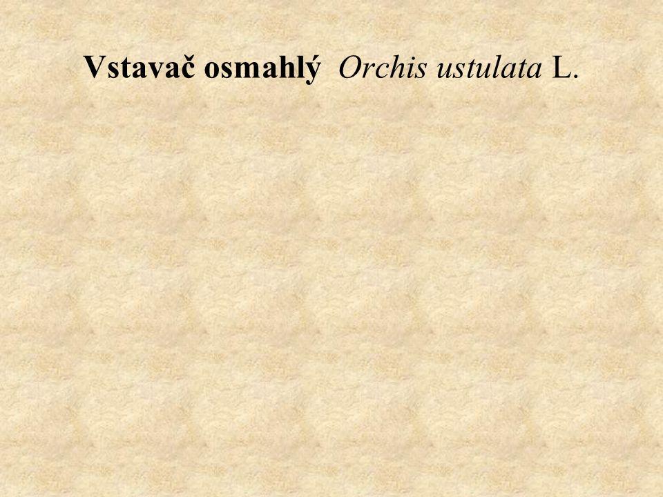 Vstavač osmahlý Orchis ustulata L.